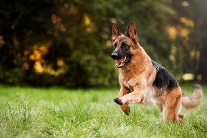 Beißvorfall Schäferhund